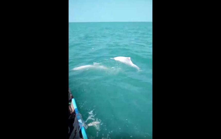 Дельфины-альбиносы имеют белый окрас из-за врожденного отсутствия пигмента меланина. Фото скриншот: youtube.com/watch?v=PbHzitKau0I