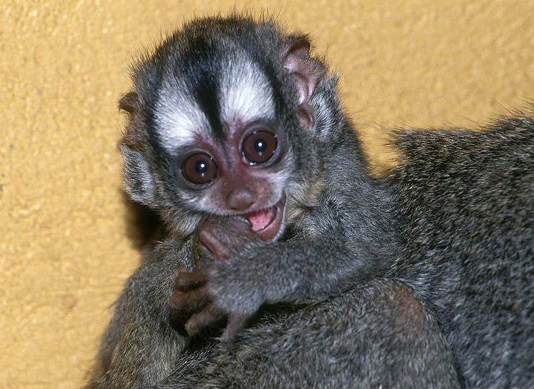 В зоопарке Москвы впервые родился детёныш редких боливийских ночных обезьян. Фото Vladimír Motyčka