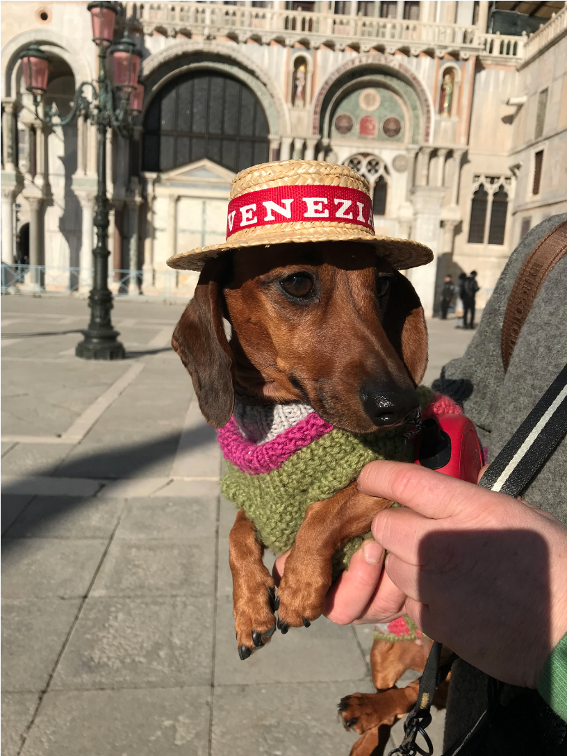 "Такса Груня во время путешествия по Венеции. Фото Ирина Круглова, ""Metro"""
