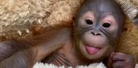 В новосибирском зоопарке у орангутанов родился детёныш