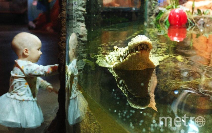 """Нильский крокодил питается горбушей и индейкой. Фото Алена Бобрович, """"Metro"""""""
