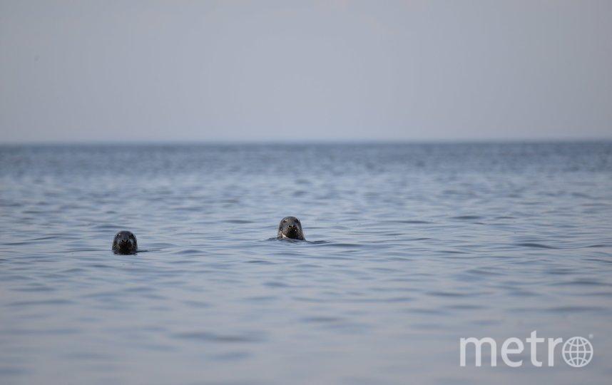 Нерпы в Финском заливе. Фото sealrescue, vk.com