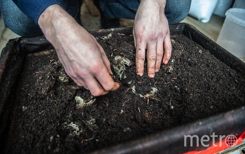 """Черви «Красный маньчжурец» считаются самой эффективной «породой» для переработки органического мусора. Фото Святослав Акимов, """"Metro"""""""