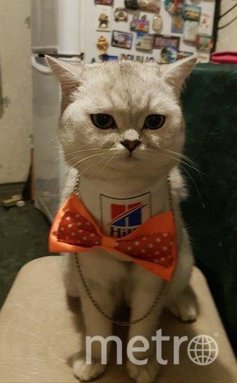 """Это шотландская кошка scottish-strajt 2-х лет по паспорту Iсeberry (дома Жмыдра или Ася). Она великая модница, и как настоящая девочка очень любит украшения. На фотографии она с цепочкой и бантиком. Фото Арина Куликова, """"Metro"""""""