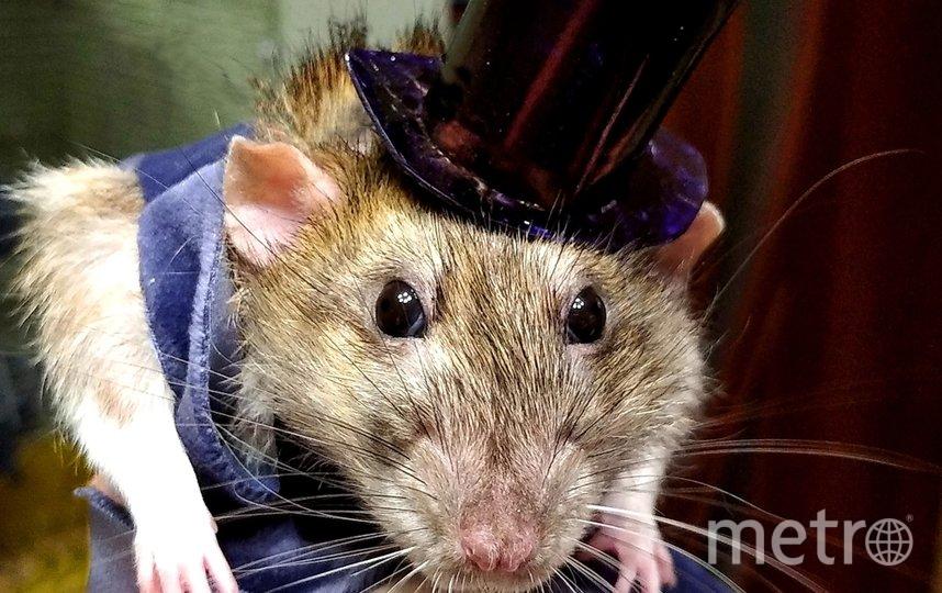 """Нашего Крыса зовут Тим. Самый добрый и замечательный крыс. Отзывается на кис-кис-кис. И готов к любым экспериментам. Фото """"Metro"""""""