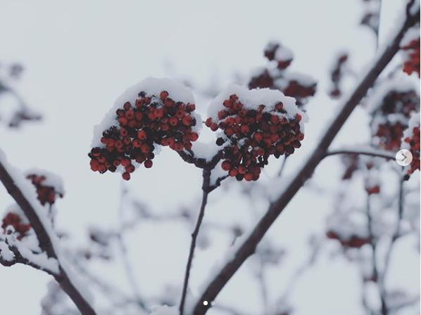 """""""Рябина в снегу"""". Фото скриншот instagram.com/rina_hagina/"""