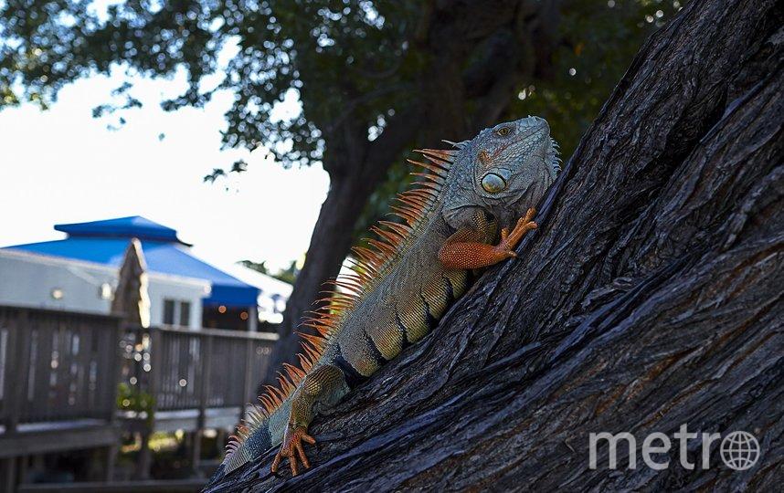 Игуаны часто спят на деревьях, однако из-за холода они впадают в оцепенение и часто падают на тротуар. Фото pixabay.com