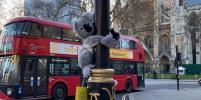 Улицы Лондона заполонили плюшевые коалы