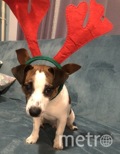 "«Эх... жаль праздники закончились» Пёс Арчи. Фото Хозяин Пётр , ""Metro"""