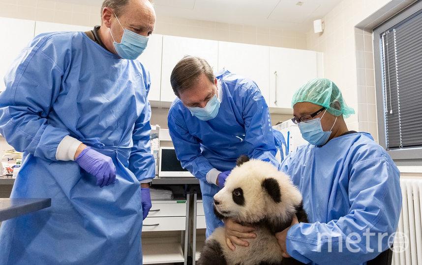 Сотрудники Берлинского зоопарка начали подготовку детёнышей панд к появлению на публике. Фото AFP