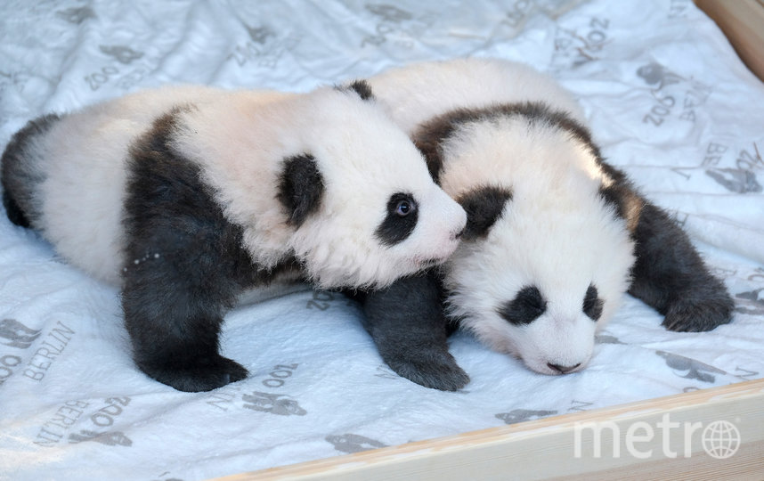 Панды-близнецы родились в августе 2019 года. Фото Getty