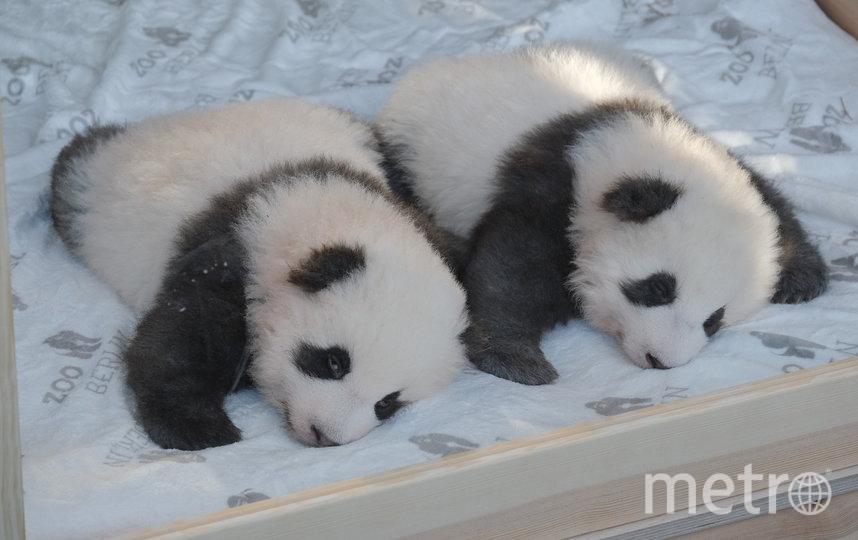 Панды-близнецы родились в августе 2019 года. Презентация малышей СМИ, декабрь 2019. Фото Getty