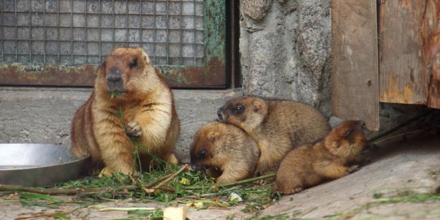 В Ленинградском зоопарке живут шесть сурков.