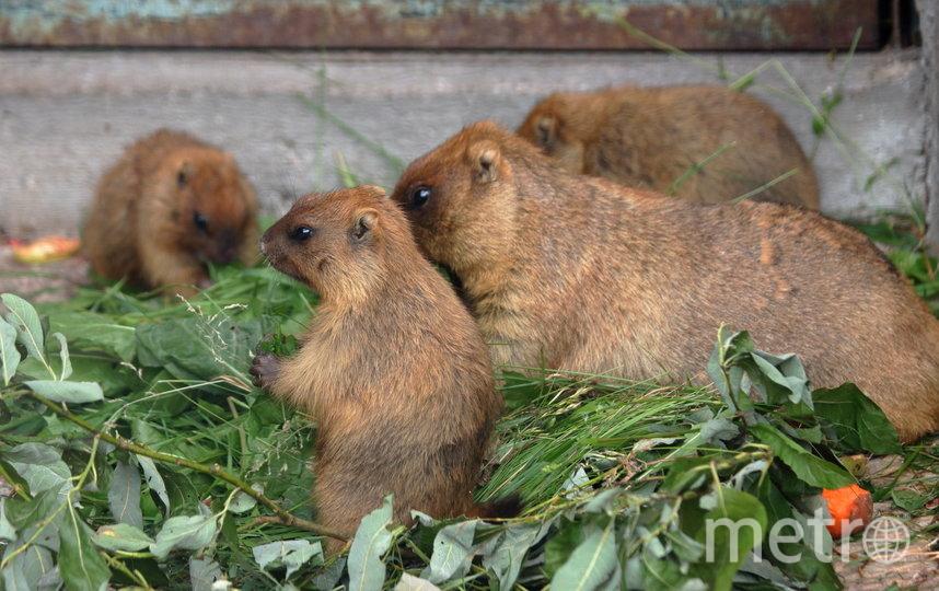 В Ленинградском зоопарке живут шесть сурков. Фото предоставлены Ленинградским зоопарком