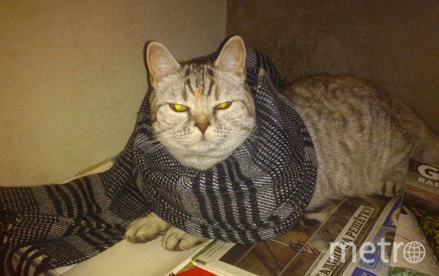 """«Ну как, идет мне этот шарфик?» Британская кошечка Снежанна. Хозяин Паша. Фото """"Metro"""""""