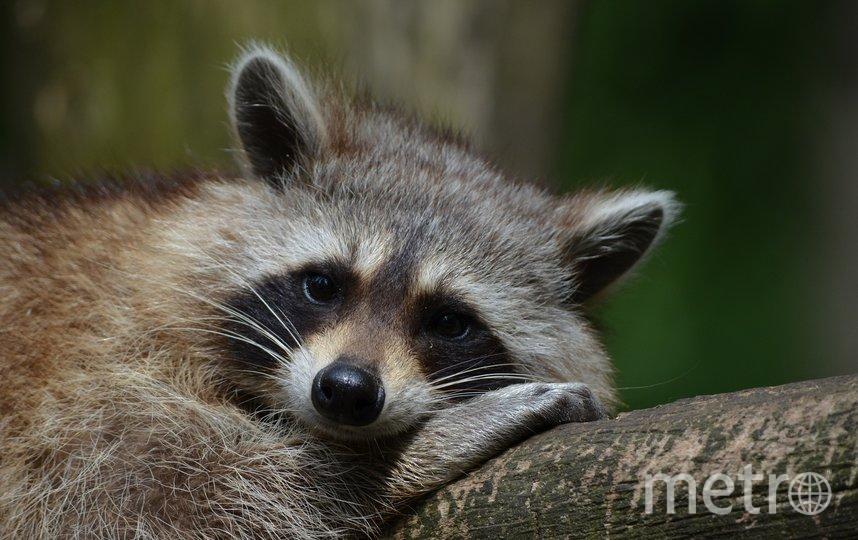 Еноты в московском зоопарке погрузились в спячку. Фото pixabay.com