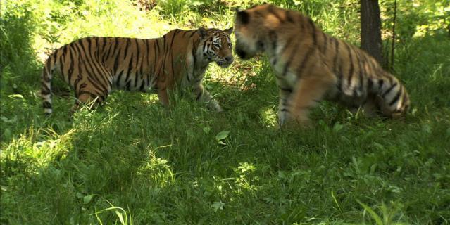 Сибирские тигры.