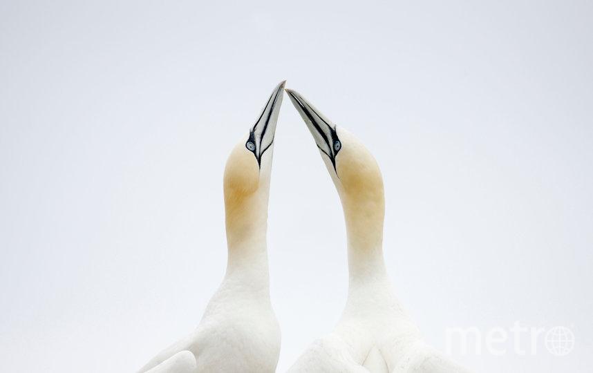 """В преддверии 14 февраля показываем самые очаровательные """"парочки"""", которые можно встретить в дикой природе. Олуши. Фото Дикие чудеса Европы / Пал Хермансен / WWF"""