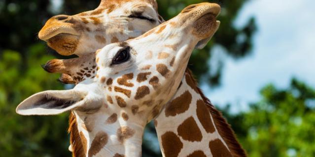 Жирафы Ротшильда.