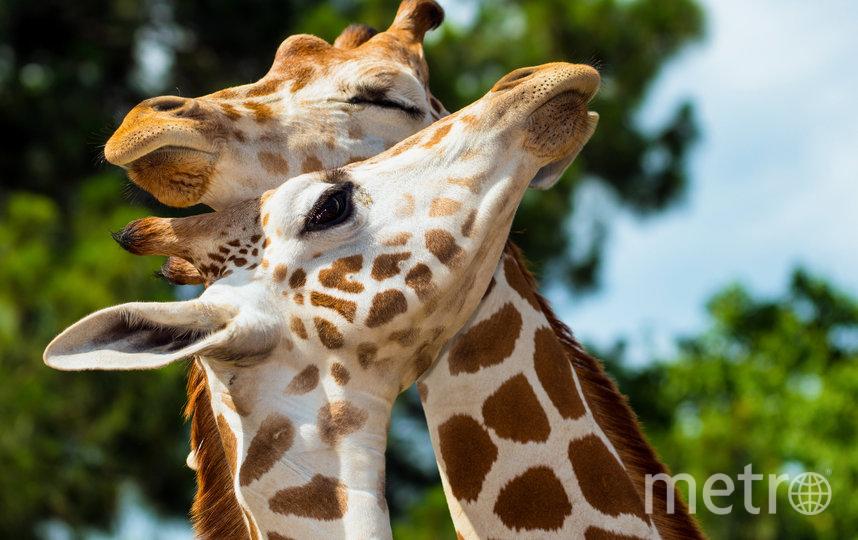 """В преддверии 14 февраля показываем самые очаровательные """"парочки"""", которые можно встретить в дикой природе. Жирафы Ротшильда. Фото Роб Хайнер / WWF-Швеция"""