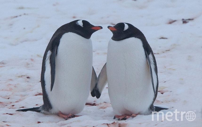 """В преддверии 14 февраля показываем самые очаровательные """"парочки"""", которые можно встретить в дикой природе. Пингвины. Фото Вим ван Пассель / WWF"""
