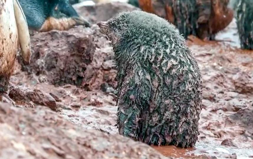 Пингвинята впервые увидели грязь – смесь снега и бурого гумуса. Фото instagram, скриншот видео @christineeckstrom