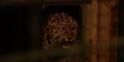 Возможен протез вместо лапы: в Подмосковье спасают раненого леопарда