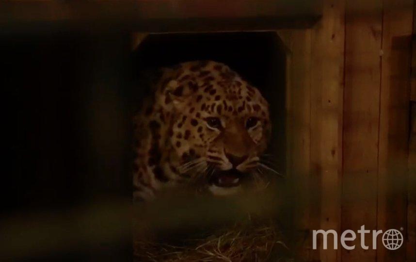 Дальневосточный леопард Эльбрус. Фото пресс-служба Московского зоопарка / скриншот видео