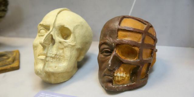 Белый череп – монголоида, коричневый– европеоида.