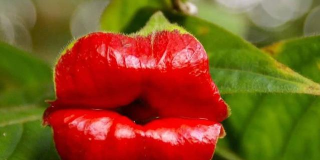 Цветок психотрия похож на пухлые губы.
