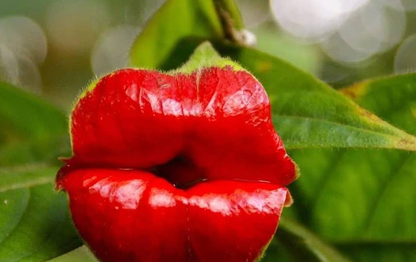 Цветок психотрия похож на пухлые губы. Фото instagram: @lora__larisa