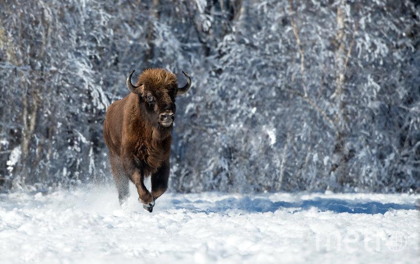 Зубр. Архыз. Фото Алексей Школьный | WWF Россия