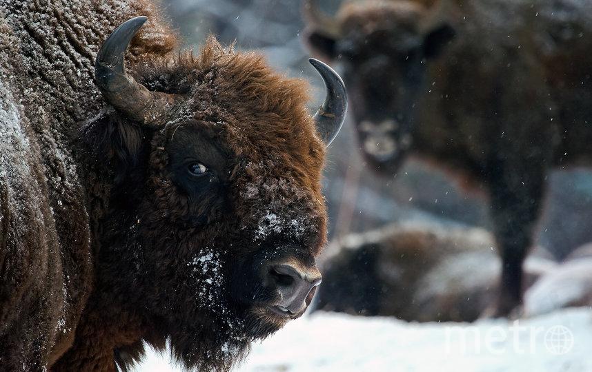 Зубры в заповеднике Калужские Засеки. Фото Виталий Горшков | WWF России