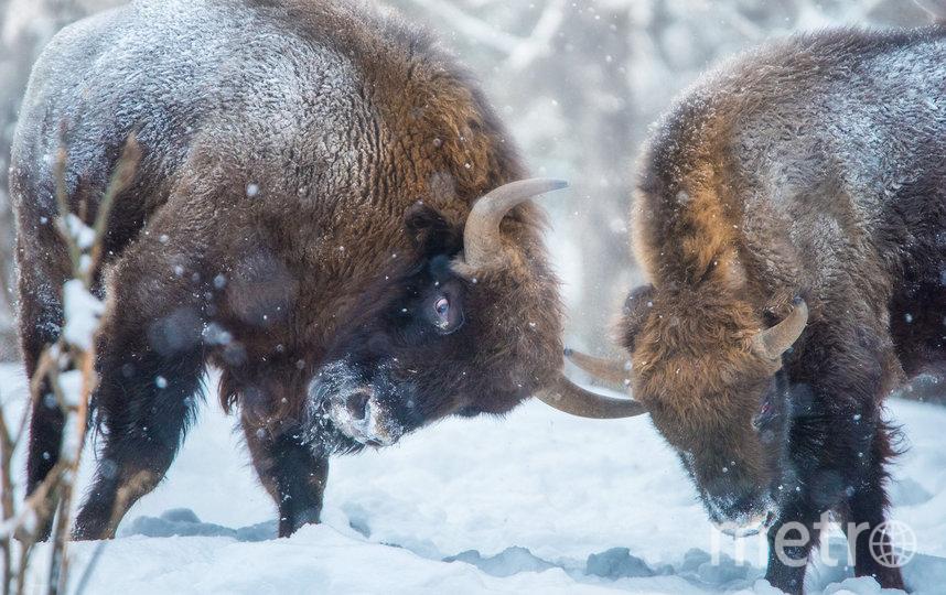 Зубры в заповеднике Калужские Засеки. Фото Антон Агарков | WWF России