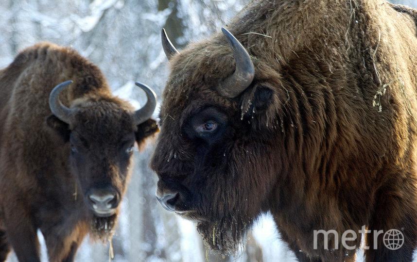 Зубры в Приокско-Террасном заповеднике. Фото Владимир Филонов | WWF России