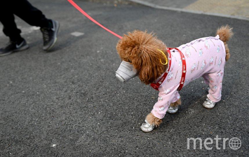 Собаководы надевают маски и на своих питомцев. Фото AFP
