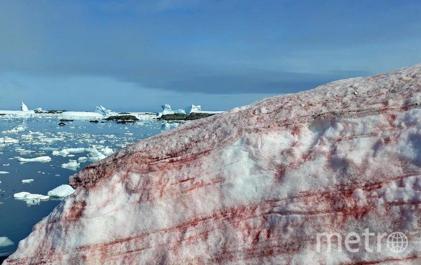 """На снегу возникают красные пятна - как от малинового джема. Фото https://www.facebook.com/UAMON/posts/3335112826515272, """"Metro"""""""