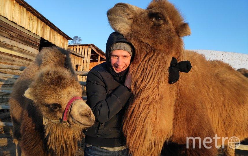 В этнокомплексе «Степной кочевник» неподалёку от Улан-Удэ можно приобщиться к бурятским традициям и подружиться с верблюдами. Младший из них, Мартин (слева), ласково ущипнул за ногу репортёра Metro. Фото Дмитрий Роговицкий