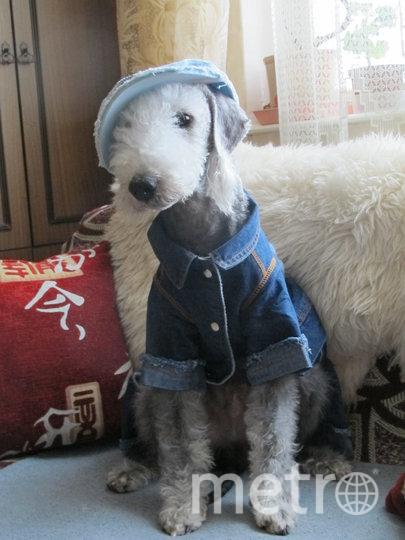 """""""Грей – самая необыкновенная в мире собака! Он очень умный, послушный, деловой и чертовски обаятельный в любом образе!"""" Фото Ирина Кукликова, """"Metro"""""""