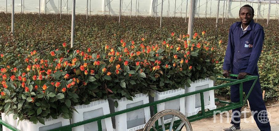 """Свежие цветы с крупнейшей """"справедливой"""" плантации роз в Эфиопии теперь можно приобрести в магазинах """"Пятёрочка"""" и """"Перекрёсток"""". Фото afriflora.nl"""