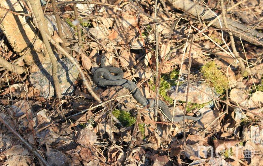 Змеи в Юнтоловском заказнике. Фото lahta_spb/Владимир Кондауров, vk.com