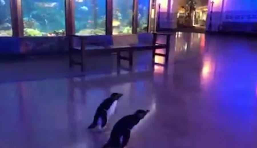 Персонал океанариума в Чикаго выпустил пингвинов на свободу. Фото скриншот Twitter-аккаунт Shedd Aquarium @shedd_aquarium