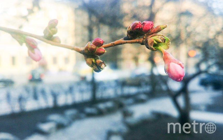 Сакура расцветает в самом центре Санкт-Петербурга. Фото grib_spb, vk.com