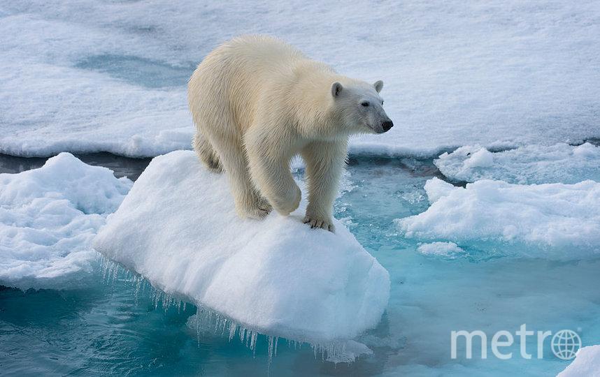 Подсчёт белых медведей в российской Арктике начнётся летом. Фото Getty