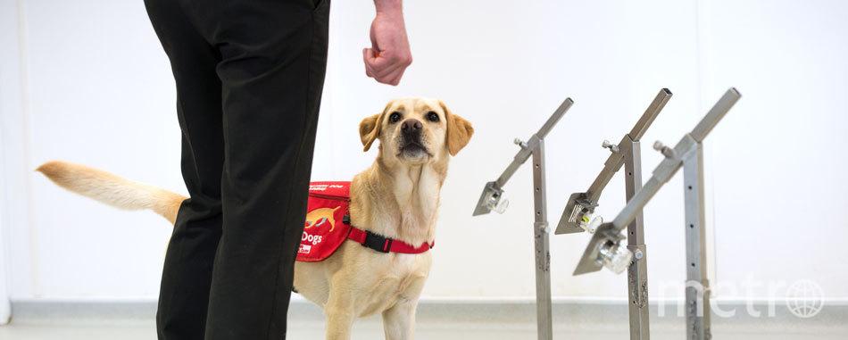 Процесс обучения. По оценкам специалистов, собак можно обучить выявлять Covid-19 у людей по запаху за 6 недель. Фото MEDICAL DETECTION DOGS