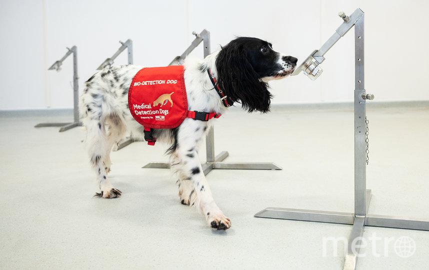 Процесс обучения. По оценкам специалистов, собак можно обучить выявлять Covid-19 у людей по запаху за 6 недель. Фото Getty