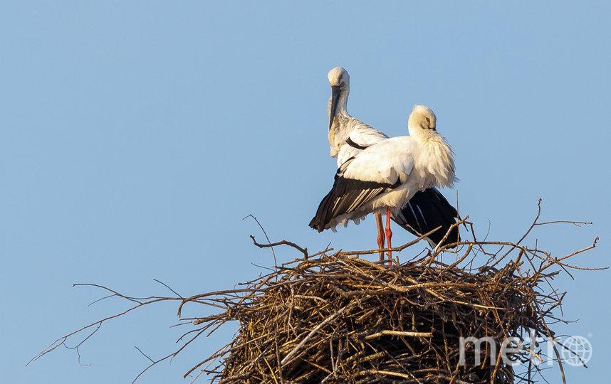 Аисты соорудили гнездо в необычном месте – на электрической вышке в Амурской области. Фото Alexander Hitrov  / WWF-Russia