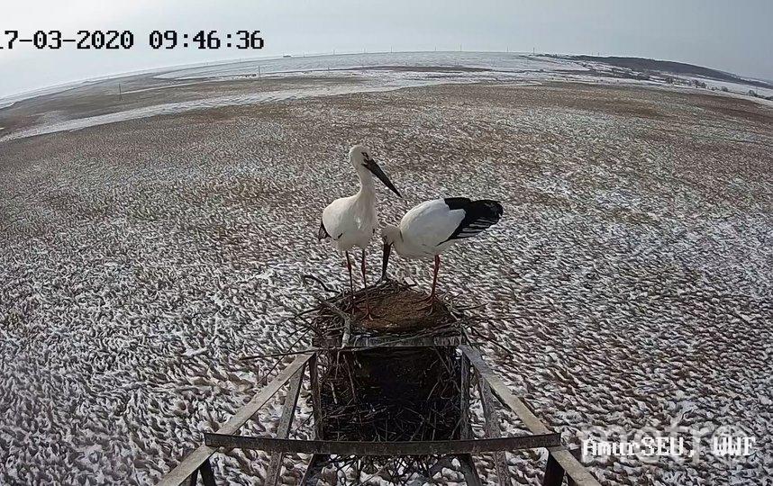 Аисты соорудили гнездо в необычном месте – на электрической вышке в Амурской области. Фото AmurSEU / WWF Russia