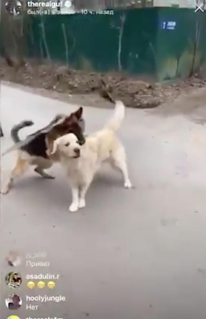 Гуф опубликовал в своём Instagram видео, на котором его собака дерётся с другим псом. Фото скриншот https://www.instagram.com/therealguf/?hl=ru