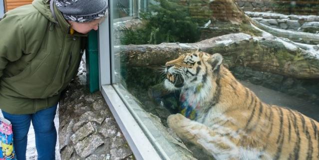 Ленинградский зоопарк. Тигр Амур.